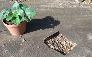 Výsadba a pěstování jahod